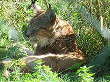 A resting Eurasian Lynx